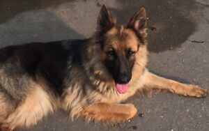 Purebred German Shepard female dog for rehoming