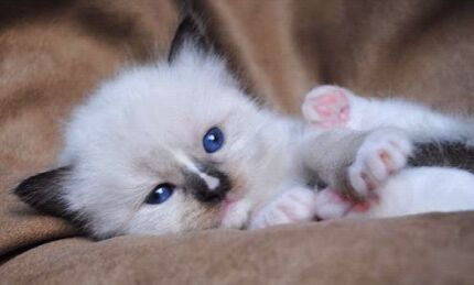 Wanted ragdoll kitten   Nunawading Whitehorse Area Preview