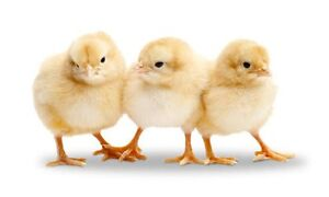Wanted baby chicks Lowood Somerset Area Preview