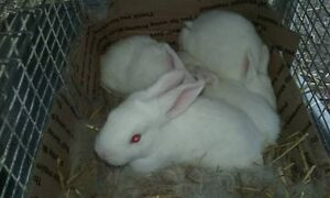 Free rabbits Adamstown Newcastle Area Preview