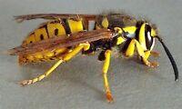 Wasps,Bumblebees  Control