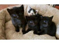 3 beautiful black kittens for sale