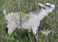 VERY NICE SMALL PYGMY DOE GOAT