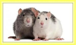 """Young Female Small & Furry - Rat: """"Fancy Rats"""""""