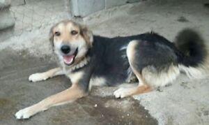 "Young Female Dog - Beagle-Golden Retriever: ""Lady Pending"""