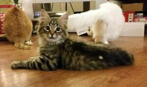 Young Male  - Tabby - Brown-Domestic Medium Hair - brown