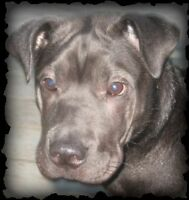 1.5 yr old Shar Pei x (Chinese Tang Dog) looking for loving home