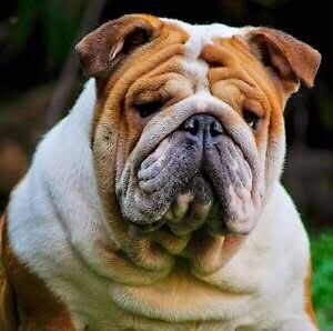 English Bulldog wanted! Belmont Belmont Area Preview
