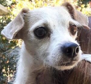 """Adult Female Dog - Italian Greyhound-Chihuahua: """"Wennie"""""""