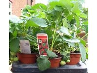 'Fragria' Strawberry Plants for sale