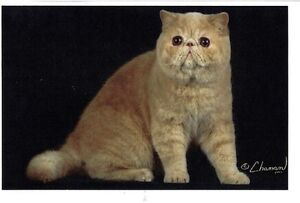 EXOTIC SHORTHAIR KITTENS READY NOW