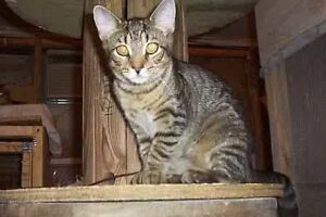 "Adult Female Cat - Tabby: ""SAVANNAH"""