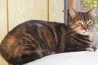 "Adult Female Cat - Tabby - Orange-Tabby - black: ""LILLITH"""