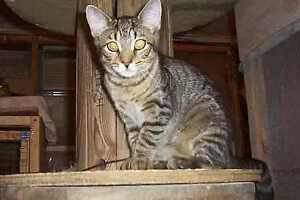 "Adult Female Cat - Tabby - black-Tabby - Grey: ""SAVANNAH"""