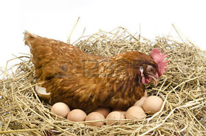 WANTED; full grown laying chickens,any breed