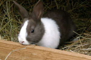 Wanted pet bunny free