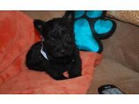 10 weeks kc registered Male Scottish Terrier For Sale