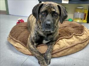 """Adult Female Dog - Mastiff-Labrador Retriever: """"Roxy"""""""