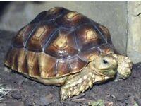 Russian/horse field tortoise