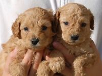 Chiots Type Labradoodles