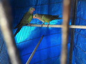 Princess parrots (9 months old) males Cooloongup Rockingham Area Preview