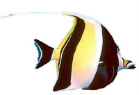 Poisson Moorish Idol pour aquarium eau salee