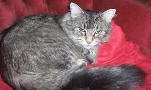 "Adult Female Cat - Domestic Long Hair: ""Rosy"""