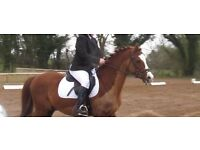 Pony 13h Welsh Section B gelding, 9 yr old.