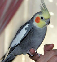 Male cockatiel, 4 years old.