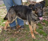 "Young Male Dog - German Shepherd Dog: ""Jake"""