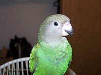 Friendly Brown Head Parrot and cage for sale
