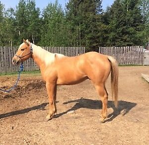 3 year old AQHA gelding with Dash Ta Fame bloodlines