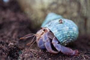 HERMIT CRABS SEEKING NEW HOME (accessories included)