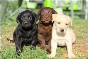 I want to buy a Labrador puppy Mickleham Hume Area Preview