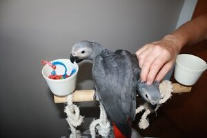 African Grey Handraised babies Salt Ash Port Stephens Area Preview
