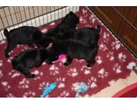 Outstanding Litter of 7/8ths Pug Puppies