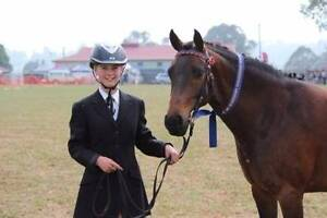 13.3hh Pony Mare Ebor Guyra Area Preview