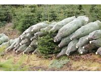 Christmas trees direct edinburgh/real christmas tree/free delivery/nordman fir/ fraser fir