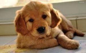 Golden Retriever Puppies - With Genetic Guarantee!