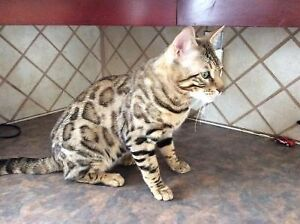 Gorgeous pure bred F4 adult male Bengal! Tri color rosettes