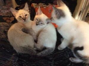 SIAMEESE KITTENS FOR SALE  250.00