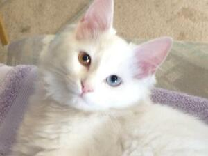 Looking for odd eyed kitten white or other coloured