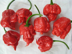 Fresh Bhut Jolokia (Ghost Pepper) + Trinidad Scorpion West Island Greater Montréal image 3