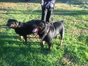 Rottweiler Pure German breeding Pair Tullamarine Hume Area Preview