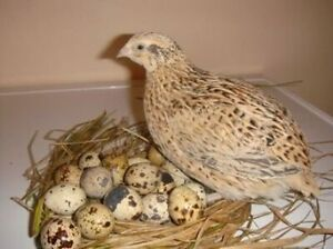 Wanted to buy quail laying eggs Bradbury Campbelltown Area Preview
