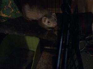 Ferret and cage with all accessories