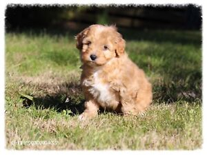spoodle puppies Inverell Inverell Area Preview