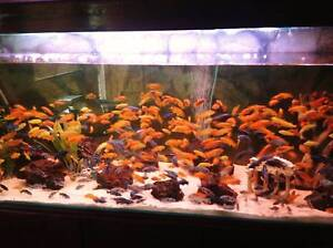 African Cichlids + bonus- 20 different species Fairfield Fairfield Area Preview