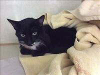 "Young Male Cat - Domestic Short Hair: ""Houdini"""