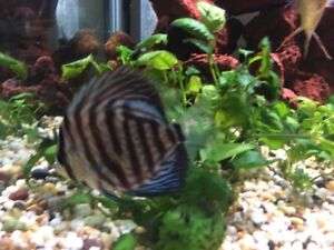 Wanted to buy     DISCUS FISH Kew Port Macquarie City Preview